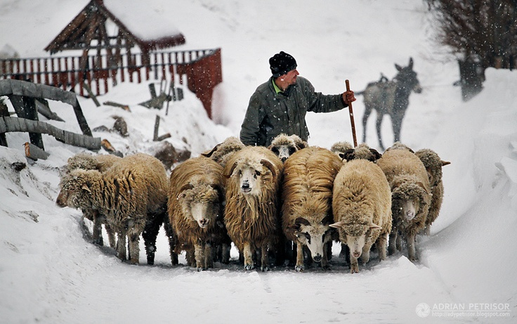 Shepperd driving his sheep back home.  ~ Brasov. by Adrian Petrisor  #romania #shepherd #traditions