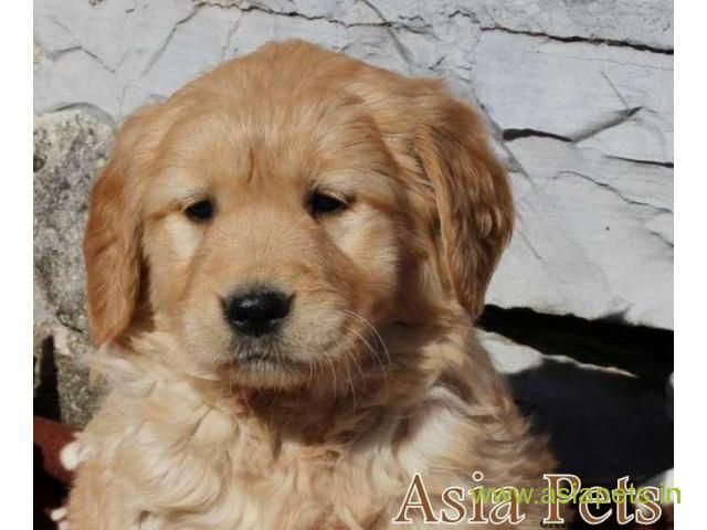 Golden Retriever For Sale Price And Breed Information Golden