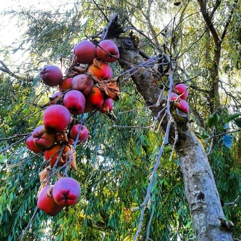 Manzanas campo sur de chile