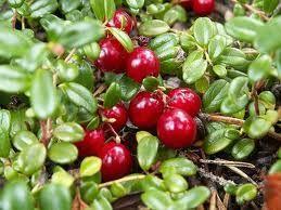 CANNEBERGE « PILGRIM » (Cranberries – Airelles américaines)  «  Variété très productive avec des fruits de gros calibre. »   » La canneberge est une plante d'ombre, qui aime l'humidité et peut craindre les chaleurs et la sécheresse, acidophile, rampante et couvre-sol. Gros fruits fermes et ronds, rouge brun à maturité en octobre. Appelées airelles américaines ou encore cranberries. Pour jus, purées, confitures, fruits confis, ou encore en accompagnement de viandes et gibiers. »