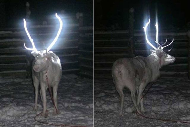 Finland spraying reindeer antlers with reflective glow in the dark paint to prevent car accidents!