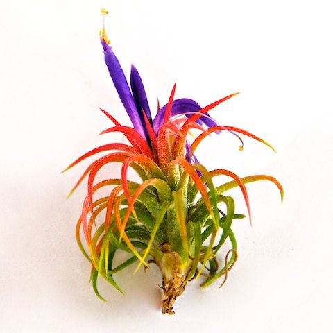 5 Beautiful Ionantha Mexican Air Plants ($14.95) by AirPlantShopCom #etsy - I have one of these gorgeous plants that had 3-4 pups still attached & all of the bloomed at the same time. So pretty!!!!
