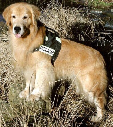 !: Golden Happy, Animal Heroes, Golden Rules, Golden Heroes, Golden Goldenretriev, Dogs Puppies, Police Golden, Golden Retriever, Goldenretriev Dogs