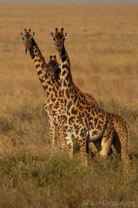 *Giraffes