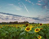 sunrise over a field of sunflowers in Potomac, Maryland