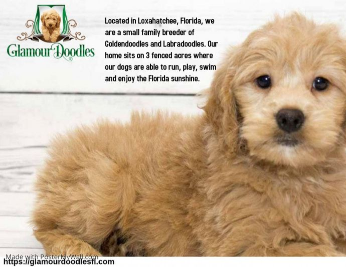 Small And Beautiful Paws Of Love Our Goldendoodle Puppies For Sale