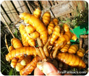 How To Grow Endless Turmeric at Home. It is FAR better than buying it!