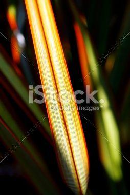 Sunlit 'Maori Queen' Flax (Harakeke) Royalty Free Stock Photo