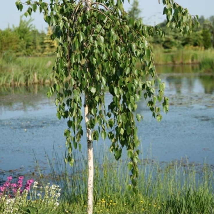 Betula utilis long trunk weeping himalayan birch tree garden plants pinterest trees - Flowers that grow on tree trunks ...
