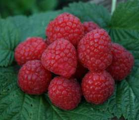 *glen Ample *new* Raspberry Bushes
