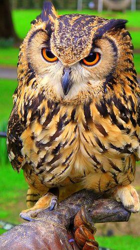 Hibou moyen-duc ou Hibou à longues aigrettes. (Asio otus ). Long eared owl.