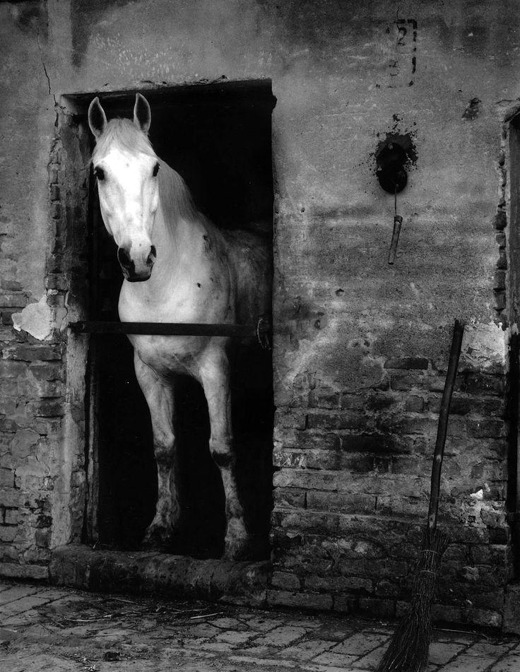 Paul Strand: White Horse, Luzzara, Italy. 1953