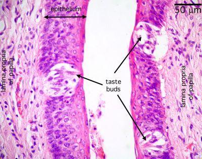 tongue-histology-taste-buds