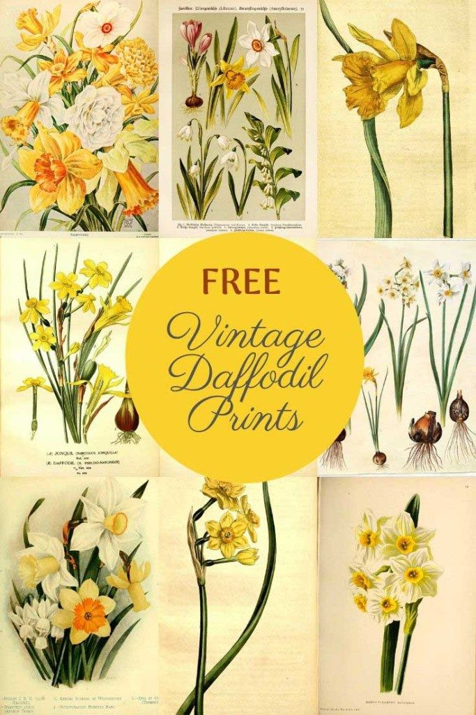 Yellow Daffodil Flower Instant Download By Silverspiralstudio Daffodils Daffodil Flower Flower Printable
