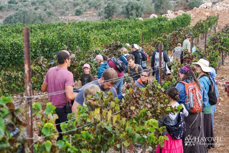 Israel's Bountiful Wine Harvest Fulfills Joel 2:4 With World Production... pub Nov 7, 2017
