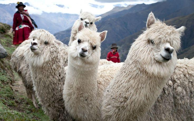 Peru: Alpacas bring hope after Shining Path | World Vision
