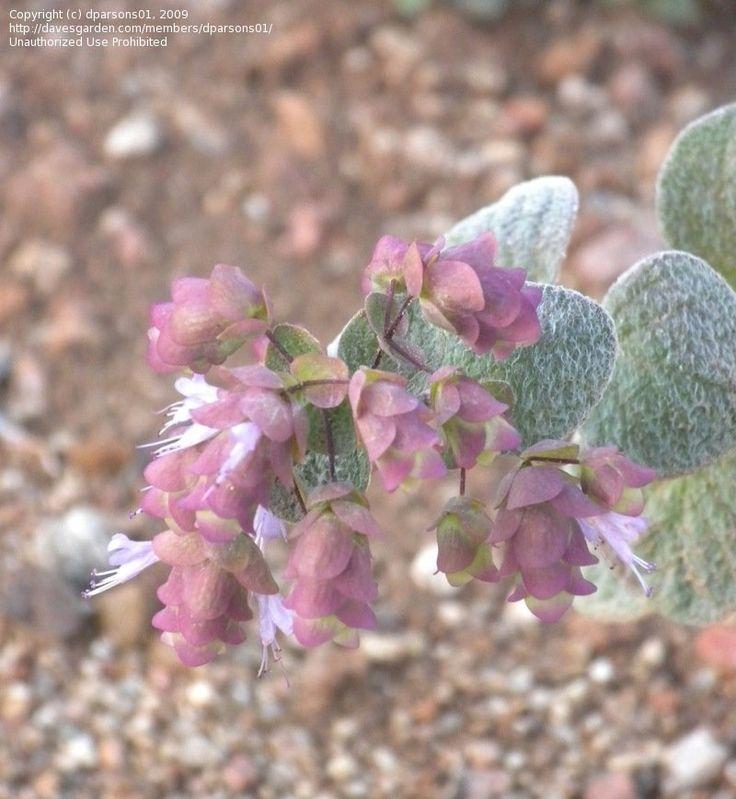 Origanum dictamnus, nice cascading plant, from Crete