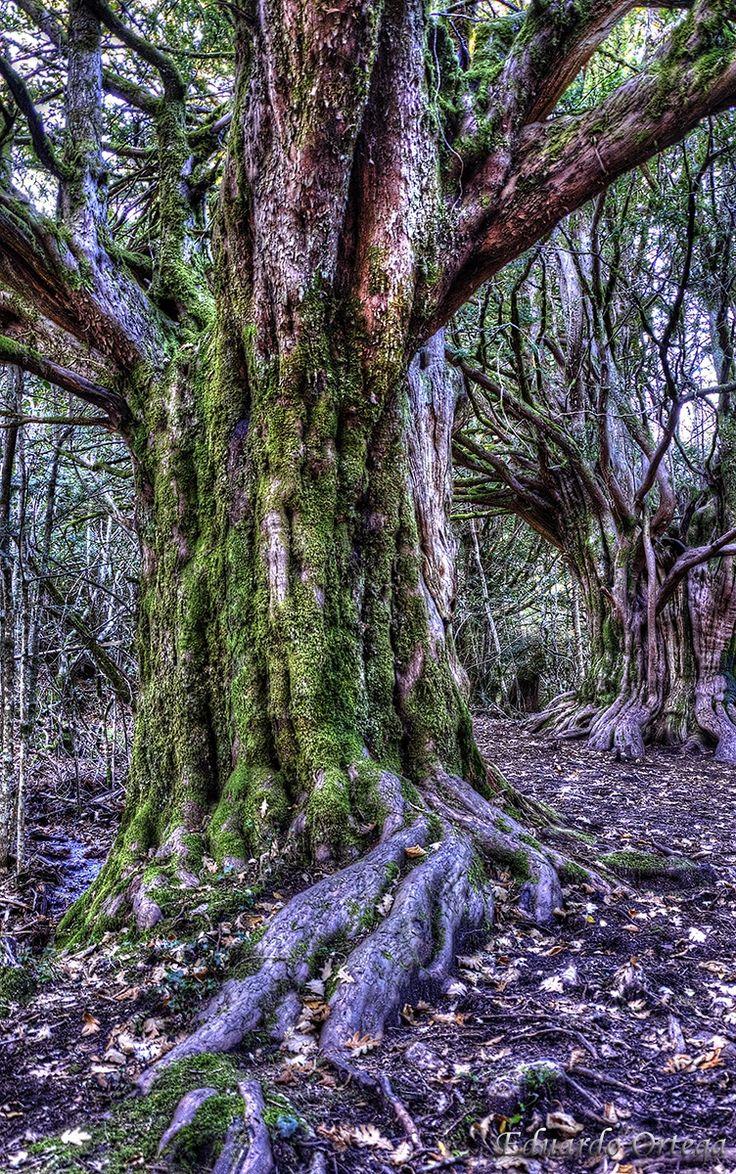 Tejo milenario - Tejo milenario en el bosque de Tejedelo Requejo Zamora