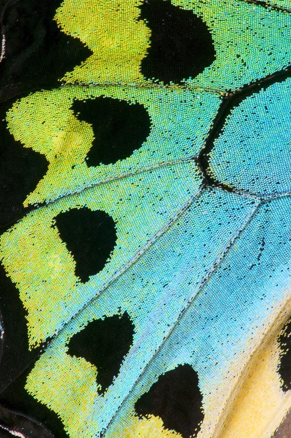 Birdwing butterfly wing close-up photograph by:  Darrell Gulin