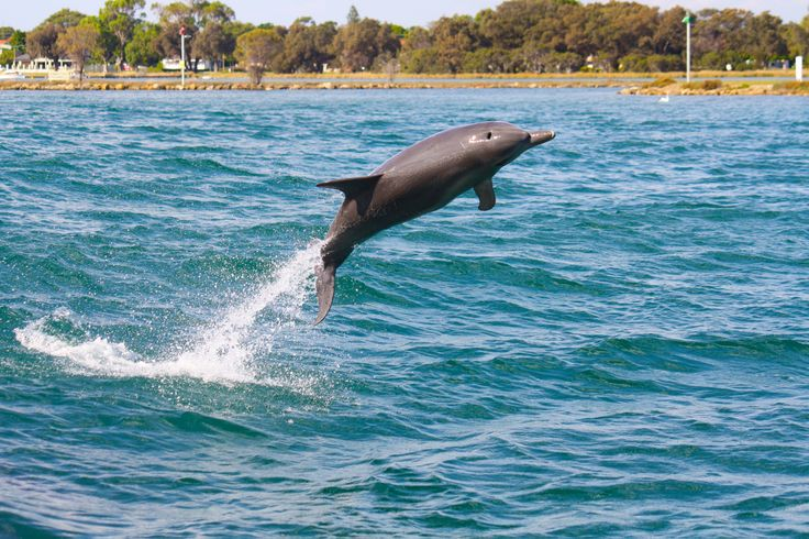 Getting some serious air time in Mandurah. #dolphin #watching #cruise