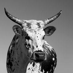 nguni cattle - Recherche Google