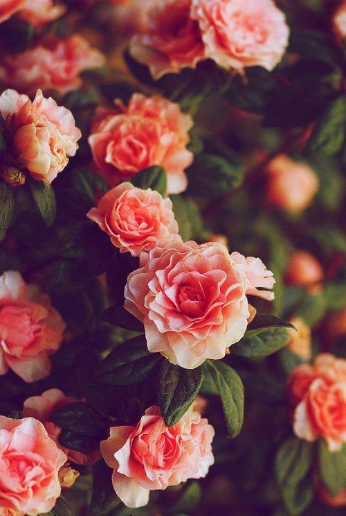"""A rose is a rose is a rose is a rose"" Gertrude Stein #roses #flowers"