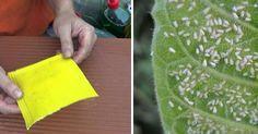 LA HUERTINA DE TONI nos cuenta cómo crea de forma sencilla y económica unas trampas cromáticas para combatir la mosca blanca.