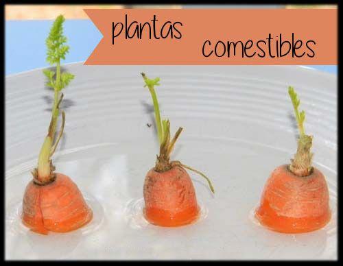 Para terminar con el ciclo de experimentos de germinación trabajaremos con diferentes tipos de plantas comestibles. Empezaremos por la má...