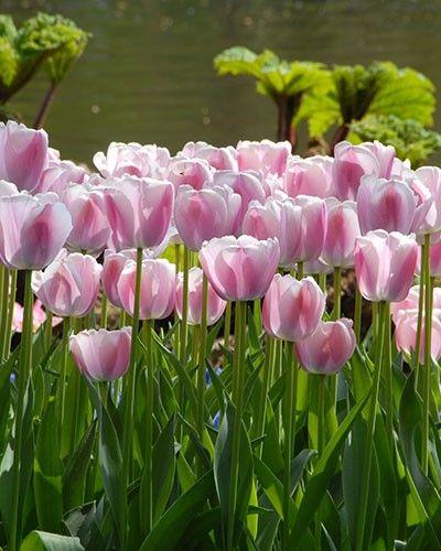 Tulip Bulbs | Ollioules | Tulip Bulbs for Sale | DutchGrown