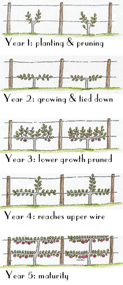 How to Espalier Fruit Trees, for the wall on the left side?? apple tree?