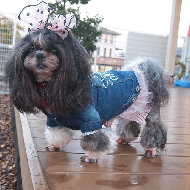 #愛犬#多頭飼い#キャバリア#シーズー#ビションフリーゼ#わんこなしでは生きていけません #白黒シーズー#トップノット #asknowasdewan  このお方のツンとしたお顔が好きです💓  意地悪そう😂  私の中で、オセロはクロミちゃんです❣️