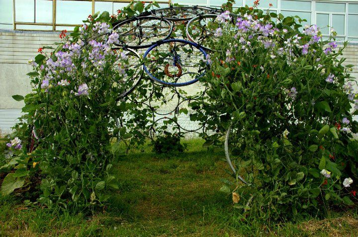 Spoke 'n' Chain: Runner Beans and Butternut Squashes loving the Dome they is !