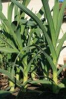 Where To Plant Organic Garlic
