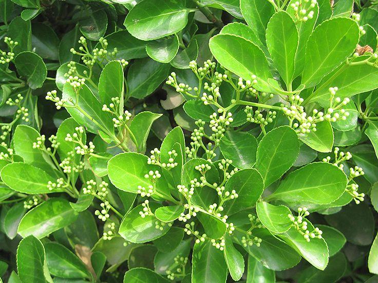 Find Japanese Euonymus (Euonymus Japonicus) In Long Island Westbury Nassau  County Jericho Mineola New York NY At Hicks Nurseries (Japanes Spindle Tree)
