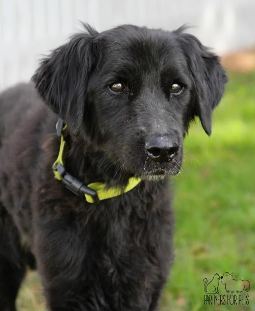 Georgia is a female 10yr.old senior Flat Coated Retriever available at Partners For Pets, Troy,IL.
