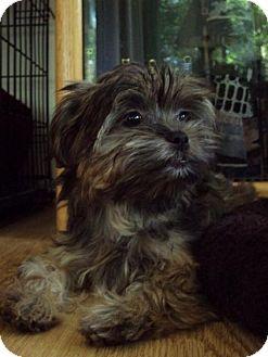 Adopt a Pet :: Mindy - Woodbury, MN - Yorkie, Yorkshire Terrier/Shih Tzu Mix