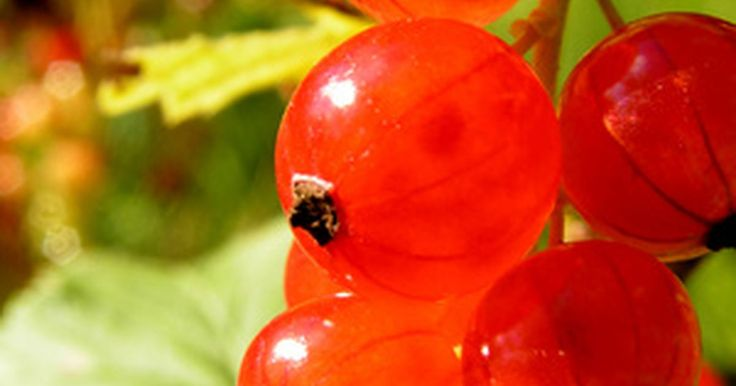 Como cultivar um pé de groselha vermelha. Os arbustos de groselha são fáceis de cuidar; são resistentes e produzem frutas que podem ser usadas em tortas, geleias e outras conservas e vinhos. Podem ser cultivados isoladamente, apesar de serem necessários três ou quatro pés para produzir frutas suficientes para uma família de quatro pessoas. A groselha cresce rapidamente e pode atingir uma ...
