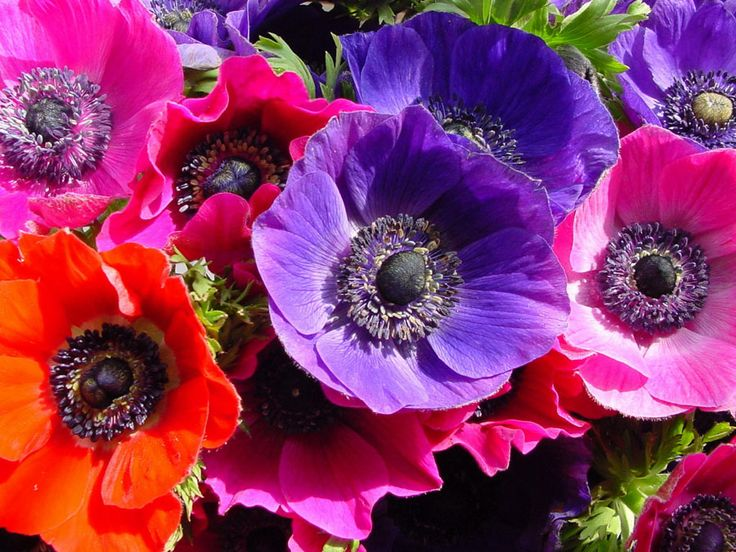 """Anemone.  According to the Oxford English Dictionary, Greek anemōnē means """"daughter of the wind"""", from ánemos the wind god."""