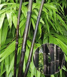 Perfect Schwarzer Bambus Black Bamboo Pflanze