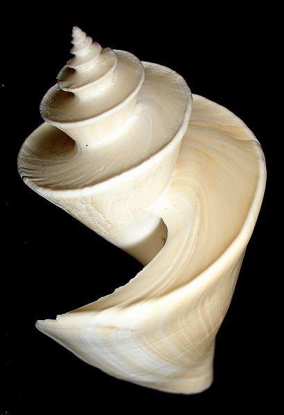 Thatcheria mirabilis ou merveilleuse (Angas, 1877), cet élégant gastéropode marin est un pleurotome japonais de la Famille des Turridae, le plus grand au monde ! Mon spécimen mesure 75mm, il aurait pu grandir jusqu'à 125mm !Thatcheria mirabilis, Turridae - Vogue la galère !