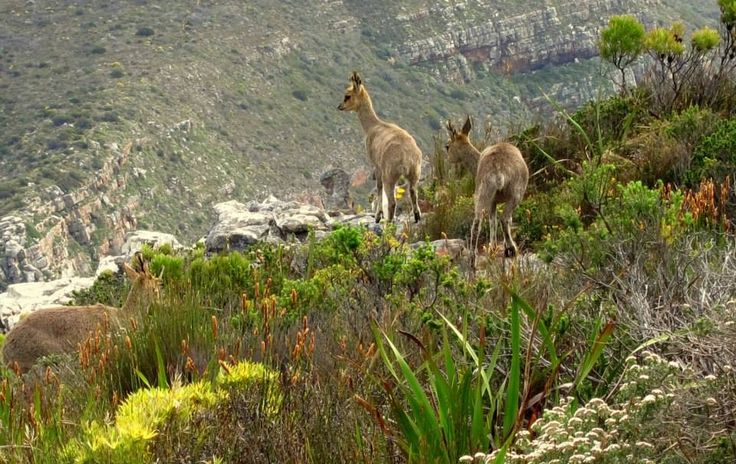 Klipspringer family - Table Mountain - South Africa - http://www.travelmoodz.com/en/travel-professional/riaan-vorster