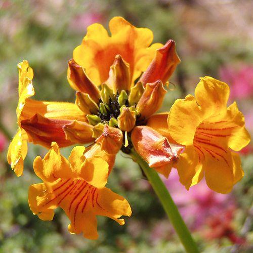 Terciopelos en el Desierto Florido (Chile) | Flickr - Photo Sharing!