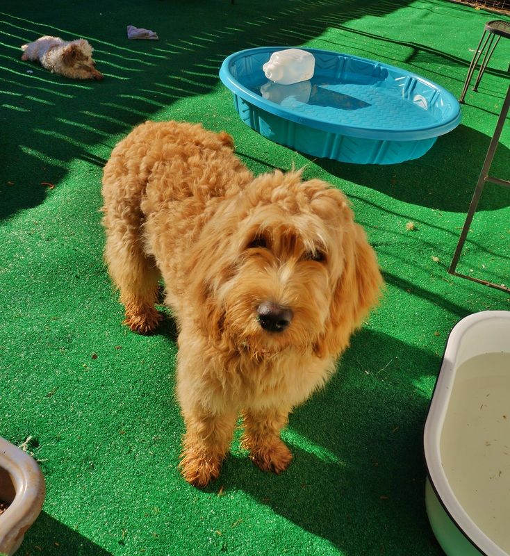 Doodles And More home Goldendoodle puppy, Goldendoodle
