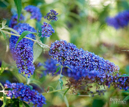 Buddleia, commonly called butterfly bush, produces wave after wave of fragrant, nectar-rich flowers all summer long. A flowering shrub, Buddleia acts like a perennial in northern gardens, dying back to the ground each fall, only to return bigger and better the following spring.