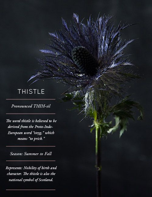 Flower Glossary: Thistle