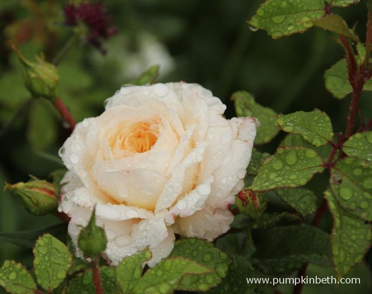 Rosa 'Crocus' bred by David Austin Roses, is a healthy and beautiful rose, roses are very resistant to slugs and snails.