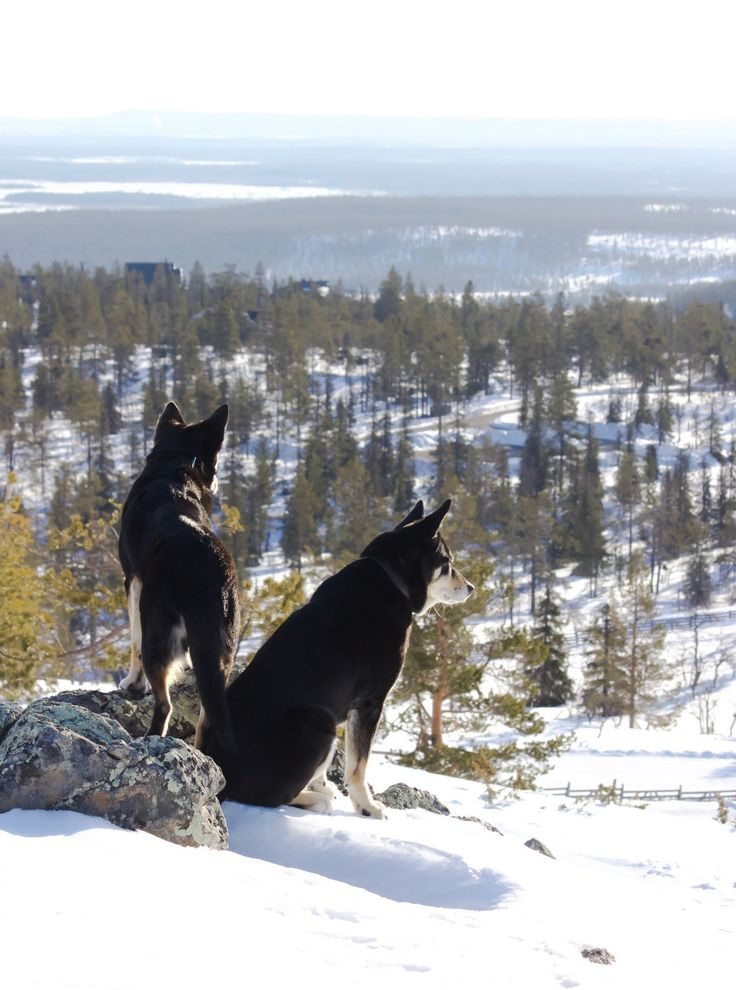 Dogs on adventure. Lapponian Herders from Finnish Lapland