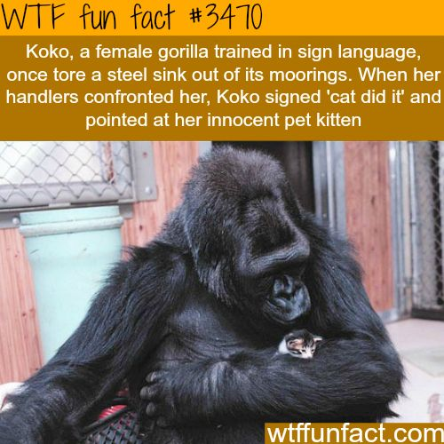 """The kitten did it"" lol. That's one funny gorilla!"