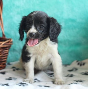 Cavapoo puppy for sale in GAP, PA. ADN-39531 on PuppyFinder.com Gender: Male. Age: 7 Weeks Old