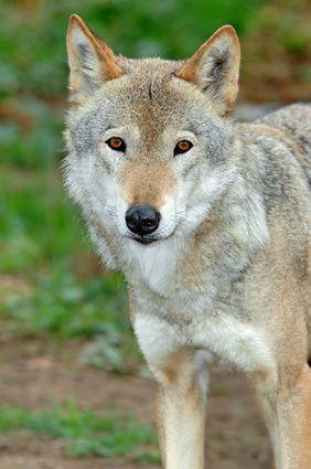 Artesanías de máscara de lobo